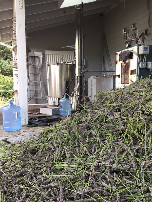Distilling lavender essential oil Movement Ecology Pregnancy