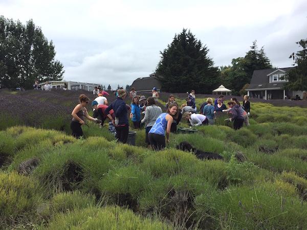Harvesting lavender Movement Ecology Pregnancy